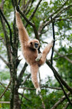 Monkey. Hanging on a tree branch Royalty Free Stock Photo