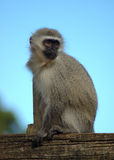 Monkey. Apes: little Vervet Monkey - Blouaap - Chlorocebus Aethiops sitting on a tree and watching other monkeys in a game park in South Africa Stock Images