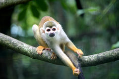Free Monkey Royalty Free Stock Image - 11256476