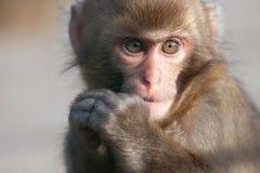 Monkey. Close up shoot of monkey outdoor Royalty Free Stock Photos
