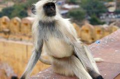 Monkey. A monkey sitting on the amber castle of Jaipur, India Stock Images
