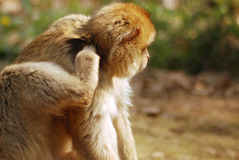 Monkey. A monkey is scratching his fleas Royalty Free Stock Photos