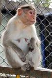 Monkey. Detail of lady monkey waiting for someone Royalty Free Stock Image