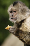 Monkey. In a zoo in Spain royalty free stock photography