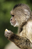 Monkey. Eating in a zoo stock photography