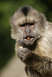 Monkey. Eating in a zoo stock photo