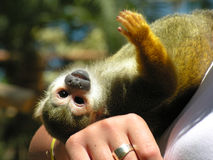 Monkey. A monkey and its handler Royalty Free Stock Image