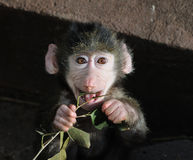 Monkey. Young monkey with a small branch Royalty Free Stock Photography