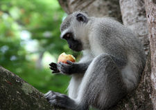 Monkey. Eating an apple on a tree in South Africa stock photography