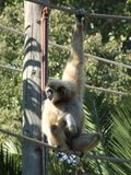 Monkey. Hung on ropes looking to the side Stock Images
