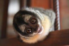 Monkey. Curious Animal Eyes Interested Royalty Free Stock Photography