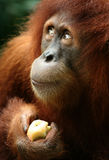 Monkey. Eating apple in ZOO Royalty Free Stock Photography