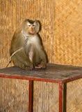 Monkey. Seatin on table animal Stock Photo