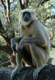 Monkey. Looking at you and smiling Royalty Free Stock Image