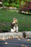 Monkey. Young monkey eating banana at botanical garden Stock Photography