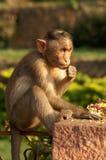 Monkey. Baby of Macaca mulatta feeding stock image
