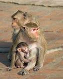 Monkey. Family of monkey is sitting Stock Images