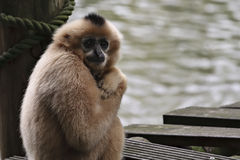 Monkey. On a small wooden dock Stock Photo