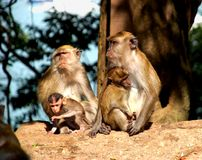 Monkey 2. Four Monkeys in Langkawi island in malaysia Royalty Free Stock Image