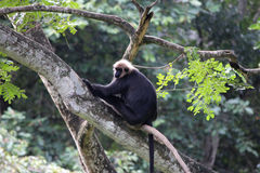 Monkey. Black monkey with white head gear perched on a tree branch Royalty Free Stock Photography