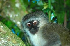 Free Monkey Royalty Free Stock Photos - 2016108