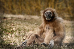 Monkey. Sitting and resting in grass field Royalty Free Stock Images