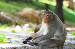 Monkey. Macaque monkey in the public park Stock Photography