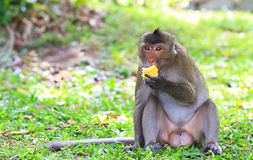 Monkey. Macaque monkey eating the corn Royalty Free Stock Photography