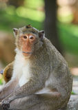 Monkey. Macaque monkey in the public park Royalty Free Stock Photography