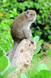 Monkey. Standing on a rock Stock Images