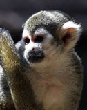 Monkey. Cute Tropical Squirrel Monkey Sitting With Tail Over His Shoulder Stock Image