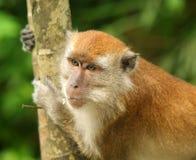 Monkey. A potrait of an adult male monkey Stock Photo