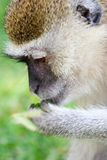 Monkey. Wild Monkey Royalty Free Stock Image
