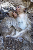 We, monkey. Two monkeys in each others arms Stock Image