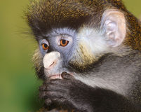 Monkey Royalty Free Stock Photos