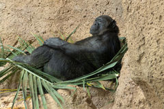 Monkey. Standing Royalty Free Stock Photos