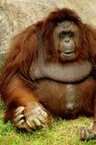 Monkey. Big Fat Monkey sitting Stock Photos