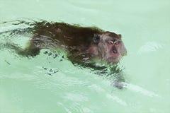 Monkey. Swimming in the sea near  Island, Phuket, Thailand Royalty Free Stock Photos