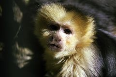 Monkey. Face Royalty Free Stock Image