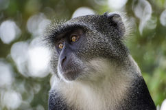 Monkey. On the tree in africa, kenya stock images