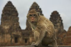 monkey-25 Stock Photography
