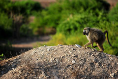 Monkey. Baboon in the savannah.hunts in the bush.strong male in his territory.monkey on hills in the wilds of kenya royalty free stock photo