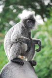 Monkey. Photo of species of silverleaf monkey Stock Image