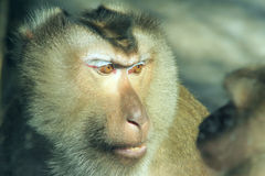 Monkey. The head close-up of monkey. Scientific name: Macaca nemestrina Stock Photo