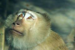 Monkey. The monkey is looking up. Scientific name: Macaca nemestrina Stock Photos
