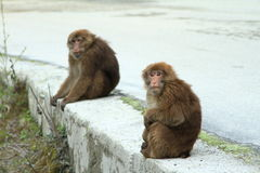 Monkey. Two monkeys are looking for something Stock Photography