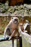 Monkey. In Batu caves complex, Gombak district, Malaysia Royalty Free Stock Images