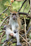 Monkey. Portrait of monkey munching peanut on tree Royalty Free Stock Photo