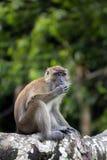Monkey. Portrait of monkey munching peanut on tree Stock Image