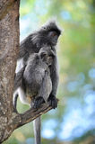 Monkey. A silver leaf monkey with a baby royalty free stock image